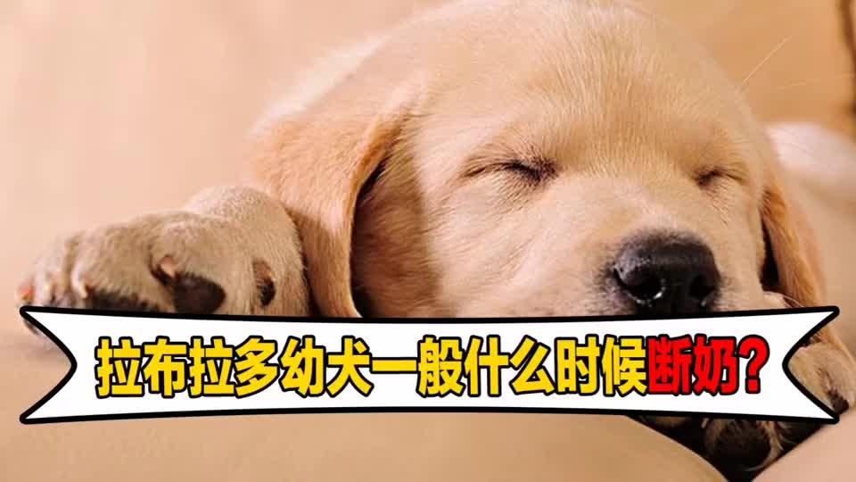 拉布拉多幼犬一般什么时候断奶?