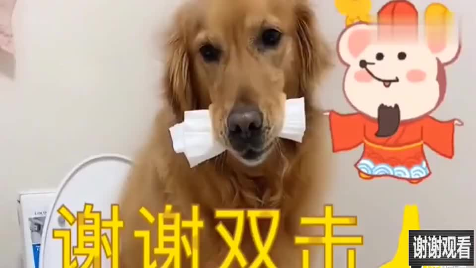 主人让金毛在家上厕所,狗子就是学不会,狗子一脸委屈