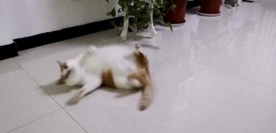 猫猪打滚十只橘猫九只胖