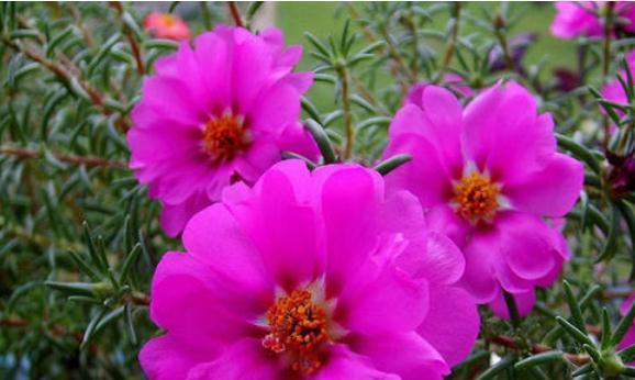此花娇小玲珑,绚丽的花朵呈现出如梦如幻的美感,十分夺目动人