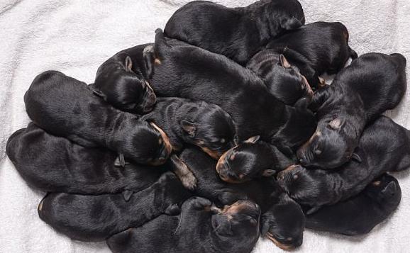 狗妈妈连生15只幼崽,生了6个多小时,累到站不住!