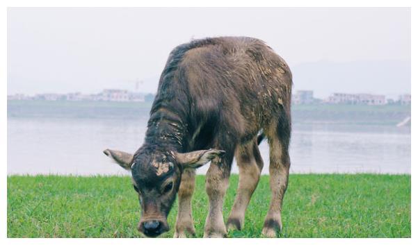 生肖牛的人,赶走晦气就在11月28号,我劝你了解一下比较好!