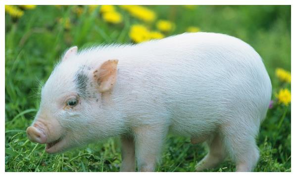 生肖猪:属猪人好好珍惜以下3大贵人,把握住一辈子顺风顺水!