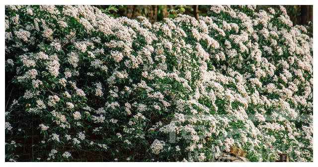 乡村繁花盛开的小果蔷薇花,洁白娇美的花朵非常漂亮,花如雪白