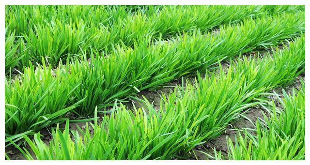 农民种韭菜,怎样提高韭菜种子的发芽率?教你一个实用方法