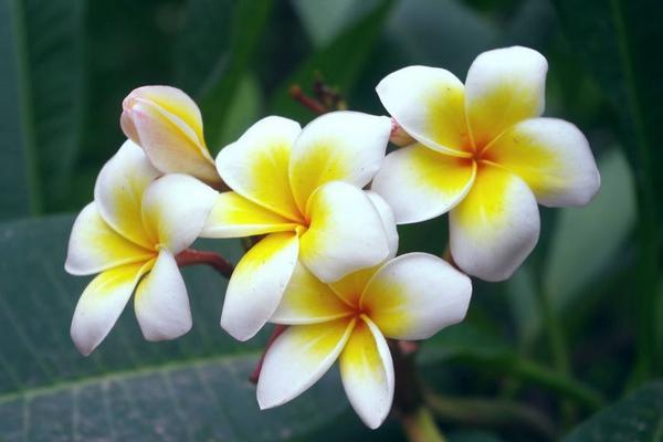 此花所代表的是希望,是抗癌的花朵,就好像是鸡蛋一样