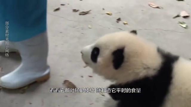 奶妈只给熊猫窝窝头,这货直接站起身,咬住竹笋开吃:跟谁俩呢?