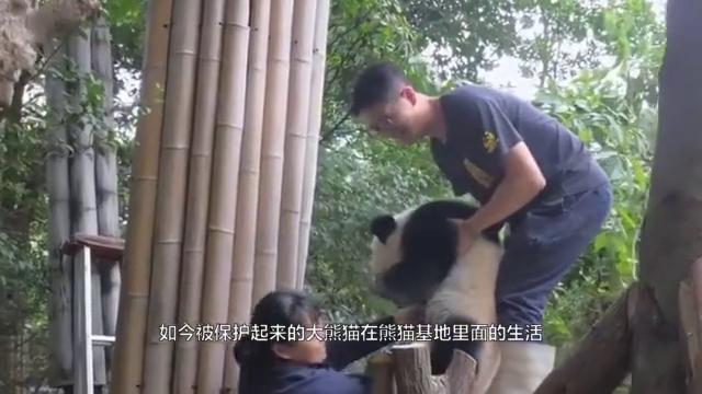 大熊猫坐在椅子上,翘起二郎腿就开始抖:奶爸已经三天没打我了!