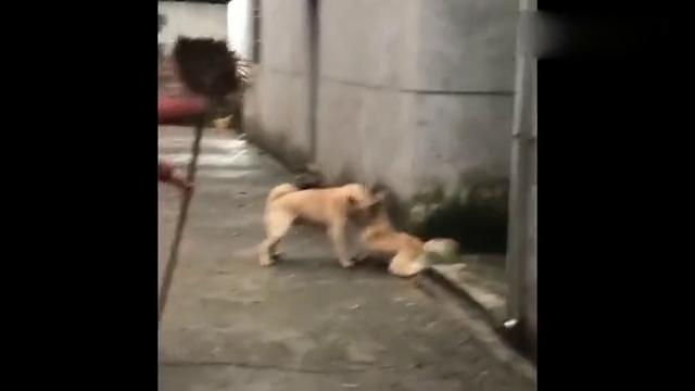 两只中华田园犬打架,劝架大妈是要把人吗?扫把都坏了!