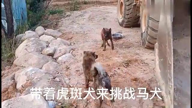 中国名犬;虎斑犬挑战马犬,结果大尴尬了