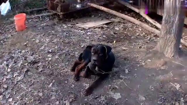 在主人的帮助下,这条傻公狗终于成功了,看它是如何搞定伴侣的