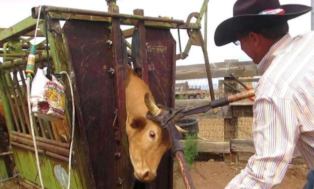 """为什么牛都要剪掉牛角,一剪刀下去,看得人""""虎躯一震"""""""