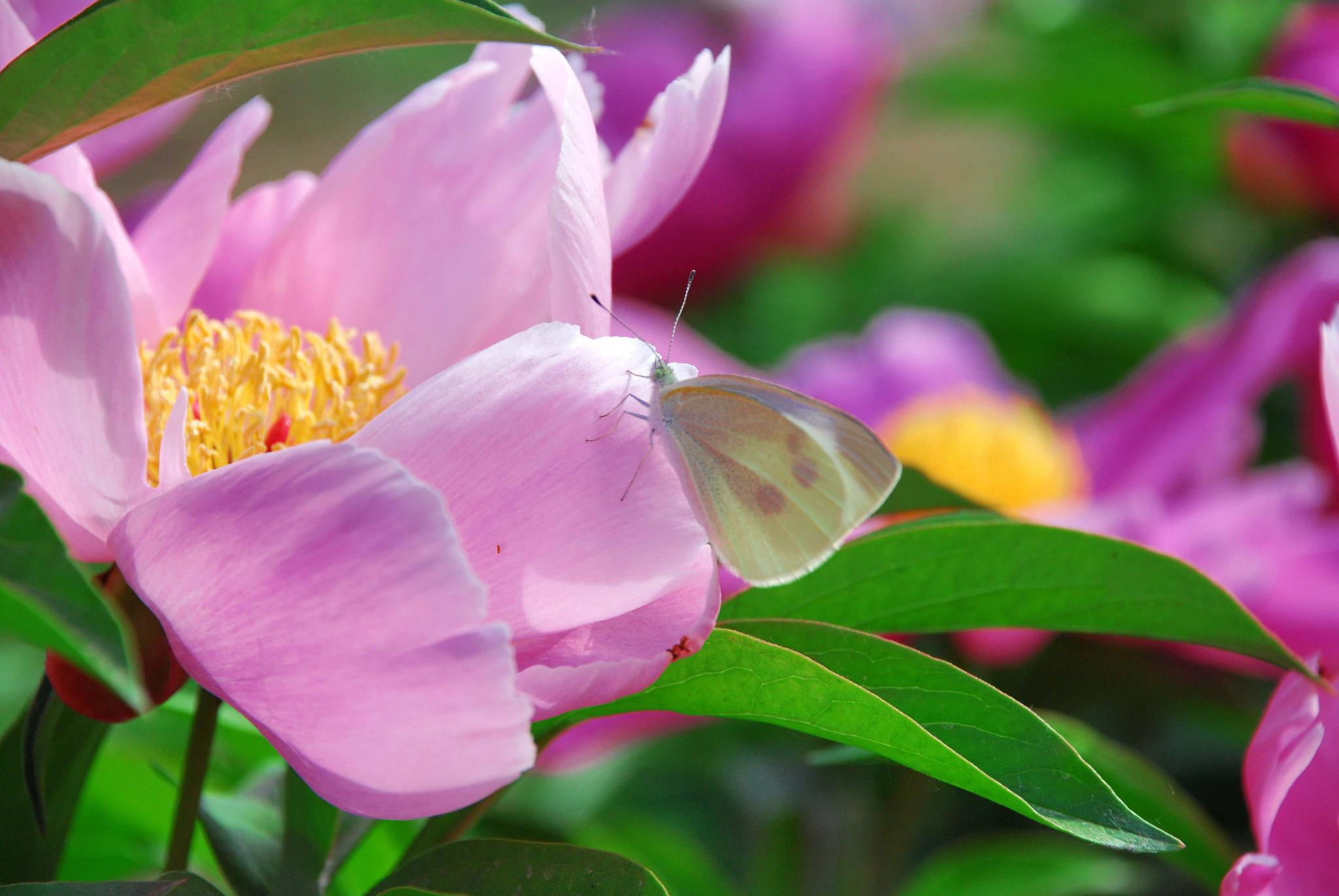 芍药花上的粉蝶,原创拍摄