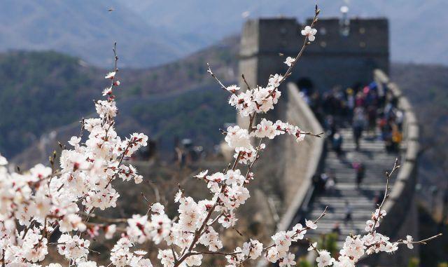 北京:阳光明媚、春意盎然,延庆八达岭长城游客赏花正当时!