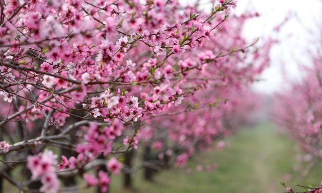 播种春天里 山西平陆万亩桃花开,姹紫嫣红醉游人,快来看有多美