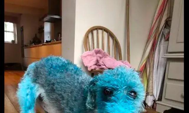 主人忘把油画颜料收起来了,回来就看见狗狗变成了蓝色,蓝精灵?
