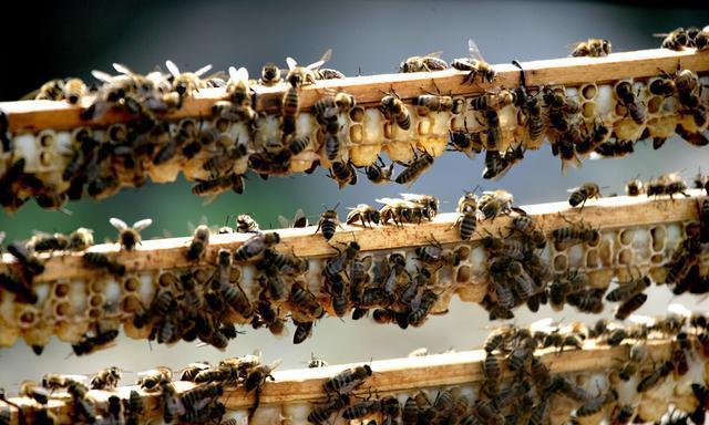 人工育王对养蜂人帮助很大,优质的新蜂王是如何一步一步培育出来