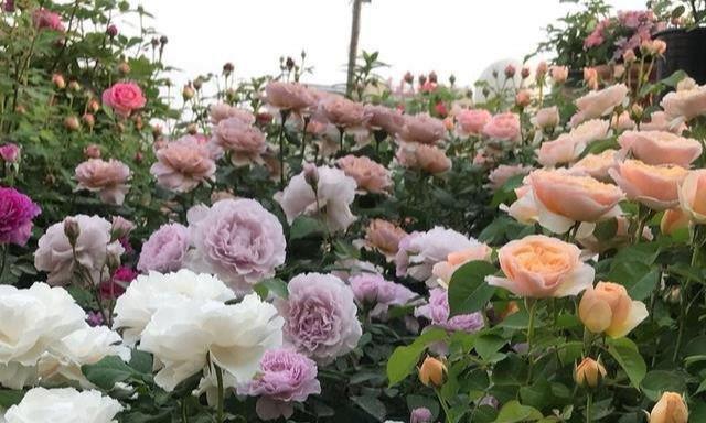 秋天月季花,3多3少做到位,花蕾挤满枝,过冬也能躁满盆
