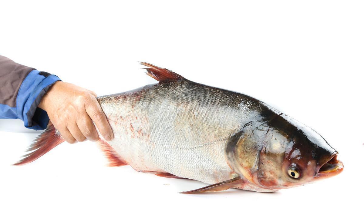 农村老家常吃的白鲢鱼和花鲢鱼有什么区别?哪种鱼吃起来更好吃!