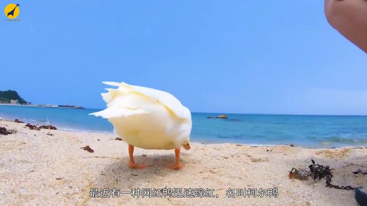 圆润可爱的柯尔鸭成新晋网红萌宠,好想养?养之前一定要三思!