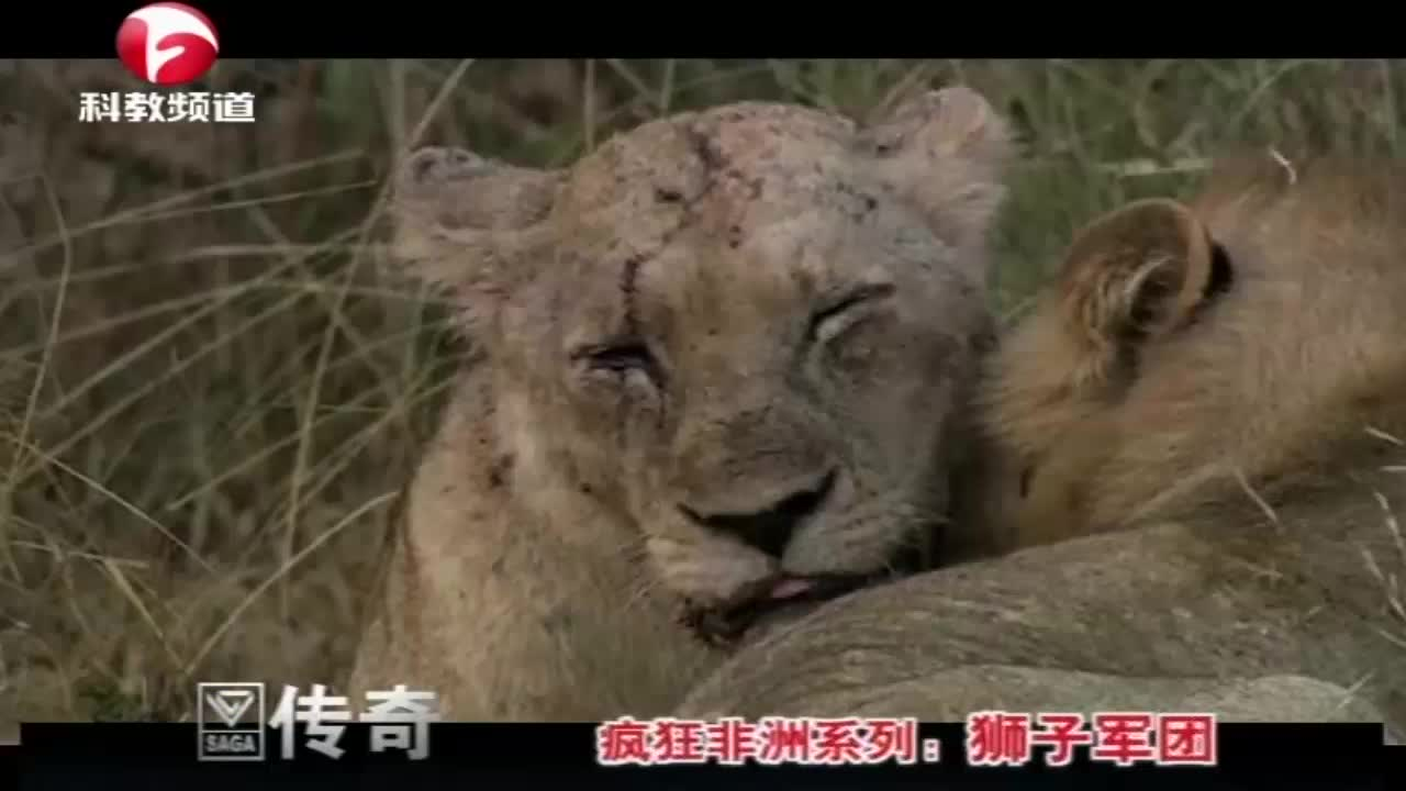 雌狮被河马咬出脑震荡,就连颈部,都被河马的獠牙贯穿