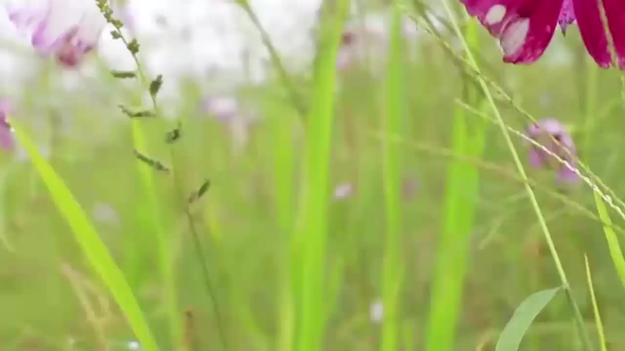 格桑花花期是多久著名的格桑花到底是西藏的什么花