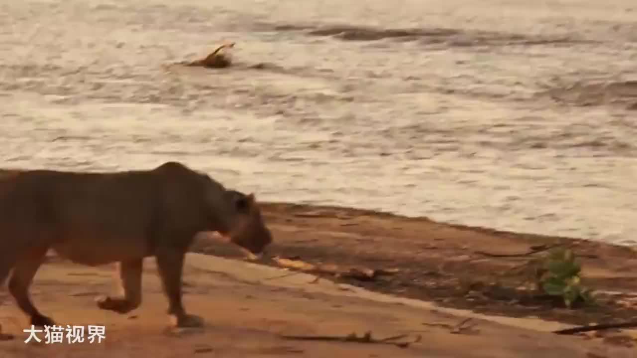冷静的狮子十分强悍,即使面对鳄鱼,它也能获胜