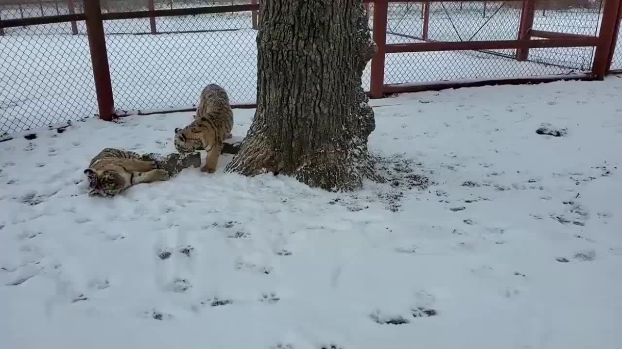 冰雪季节,小老虎出来玩雪咯!