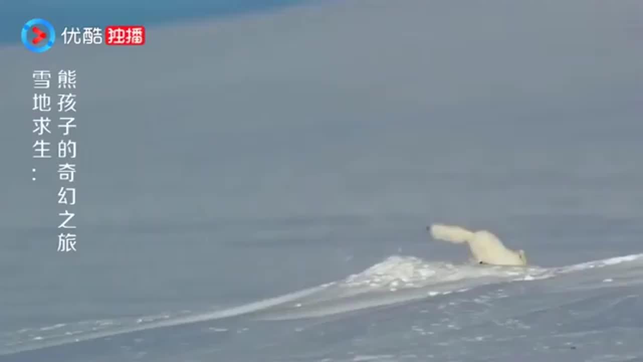 好可爱的北极狐私藏点吃的还被北极熊发现抢走