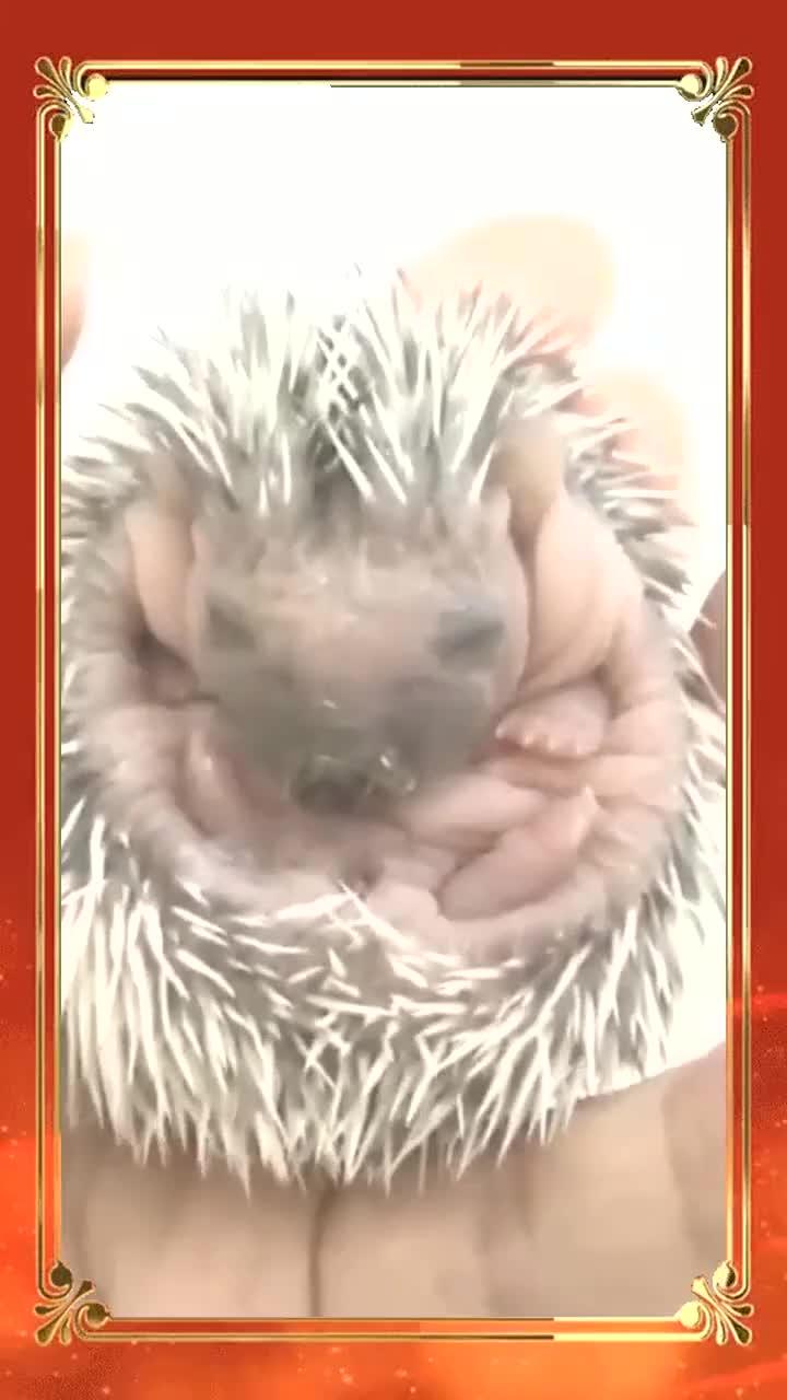 刚出生不久的小刺猬,吐舌头的样子太萌了