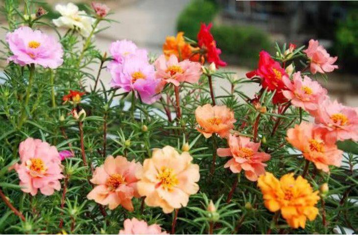 5种花是懒人的最爱,好养开花漂亮,一开就是300天,你养了吗