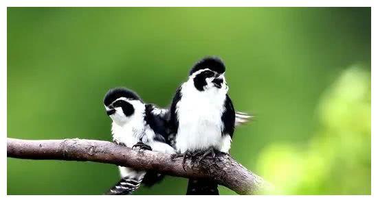 来婺源,看世界上最小的猛禽吧,毛茸茸的身姿,矫健又可爱
