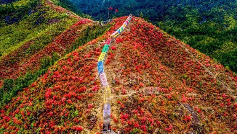 浙江仙居:满山杜鹃红