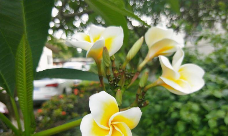 """花卉中的""""小鸡蛋"""",鸡蛋花开迎夏季!"""