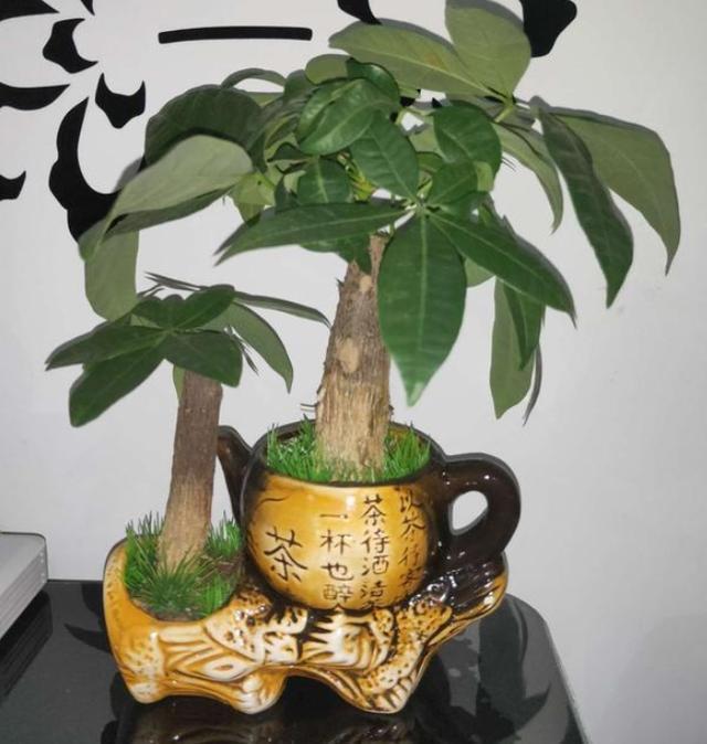 养发财树,跟着学正确的浇水方法,叶子常年油绿,还不烂根