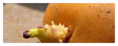 """土豆""""发芽""""不要扔,用这个方法,可以种出小土豆"""