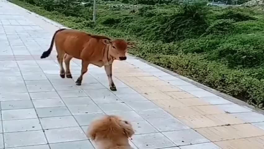 狗子和黄牛许久未见,今天偶然相遇,竟然这般陌生!