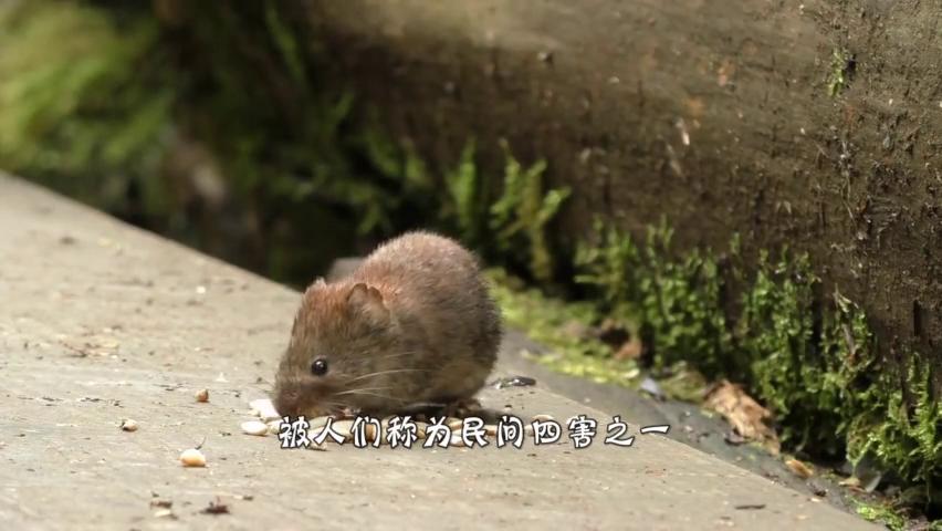世界之最奇葩,老鼠个头比猫还大,网友:鼠王不愧是鼠王!