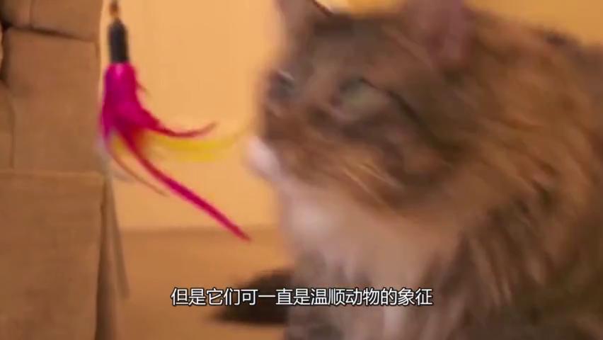 """世界上最大的猫,被称""""温柔的巨人"""",体长接近一米!"""