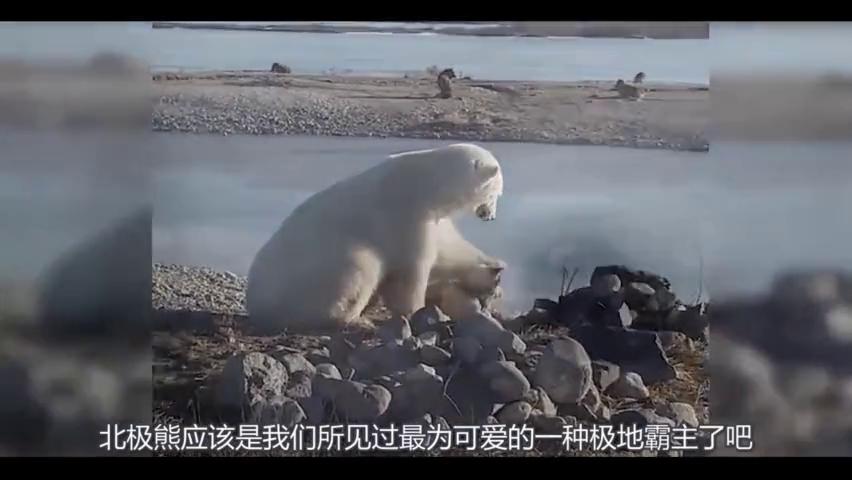 北极熊遇到了一只哈士奇,非常的好奇,不断的用爪子摸哈士奇?