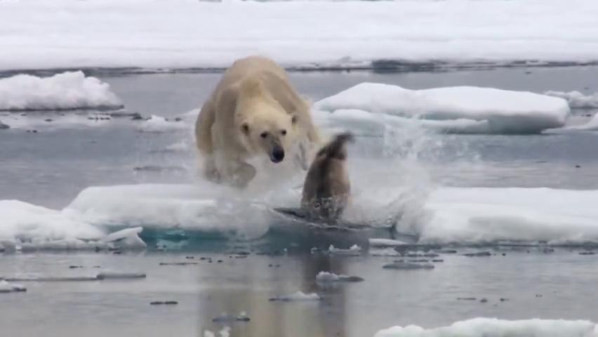 北极熊捕猎真有一套,悄悄转移后迅猛一击,海豹跳进水里也逃不掉
