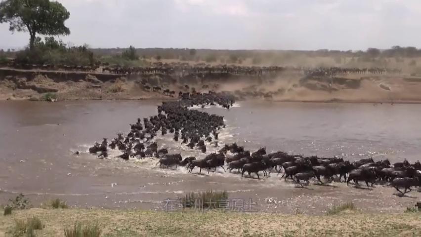 两头角马因为争斗,导致牛角卡在一起,让人绝望的是一群鬣狗出现