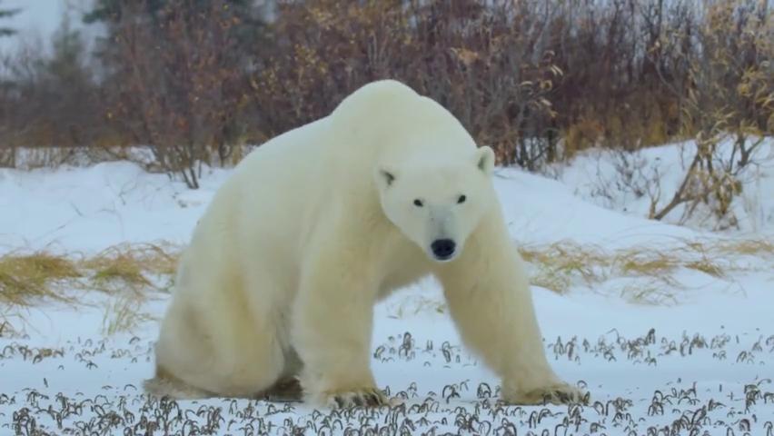 北极熊遇到北极狼会发生什么?十秒后结果颠覆你的认知