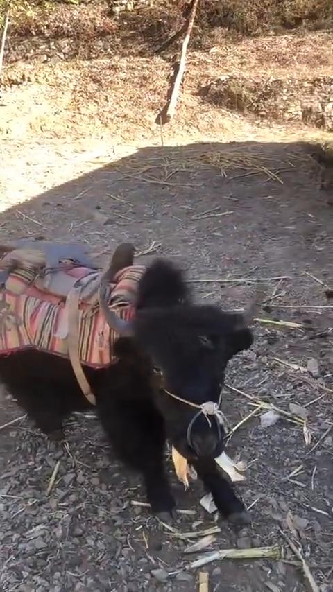 藏族小孩的标配版坐骑,小牦牛