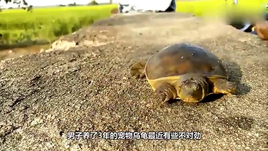 乌龟一旦翻身,就会导致它们窒息死亡?究竟是怎么一回事?