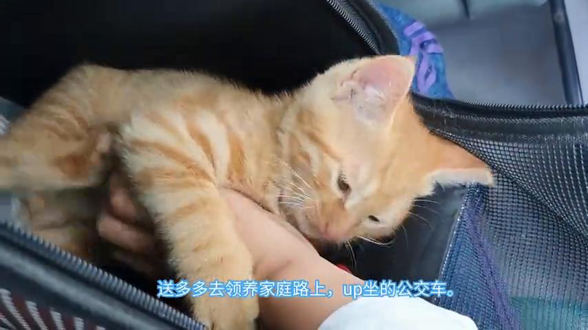 送养那只被妈妈换火腿的小橘猫,一路上万般不舍激萌奖金计划