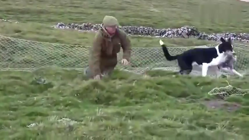 野兔泛滥,聪明的大叔让雪貂进洞赶兔子,让边牧在洞口负责抓!