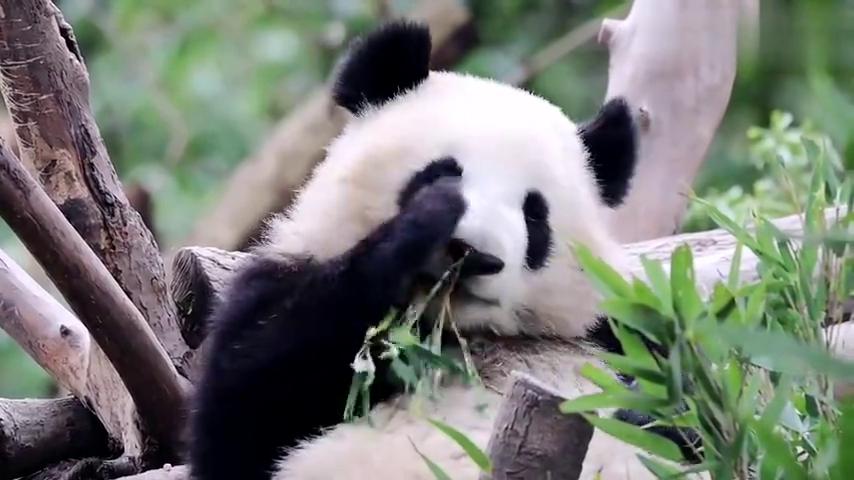 """出生时体重最轻的""""拇指姑娘"""",大熊猫成浪,现在已经长大啦"""