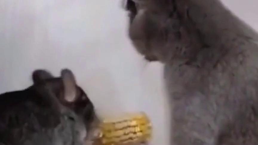 现在的老鼠胆子真大,竟然都敢和猫咪打架,现实中的杰瑞和汤姆!
