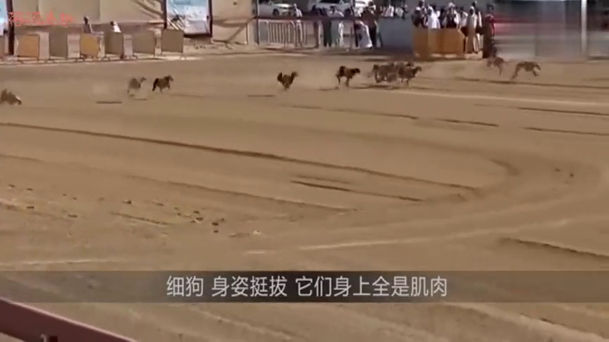 男子故意将羚羊放生,随后却惨遭数十条土狗围追,场面不忍直视!